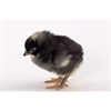 mypetchicken - Day-Old Chicks: Barred Plymouth Rock